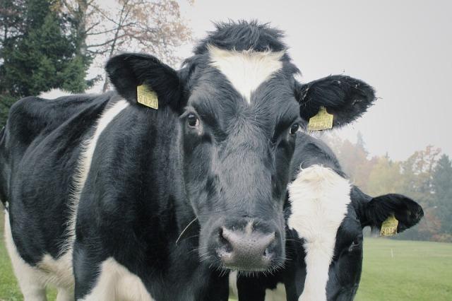 cows-1264545_960_720
